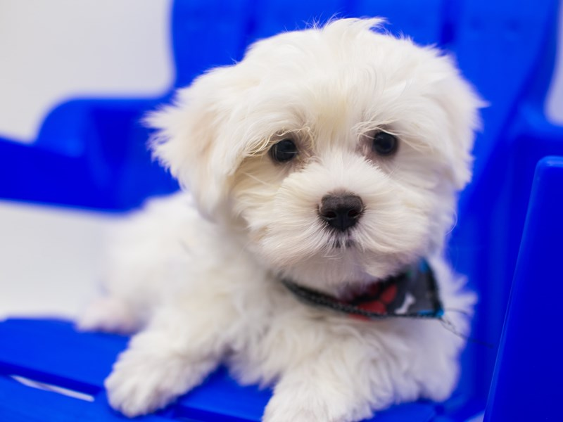 Maltese-Male-White-2826699-Petland Wichita, KS