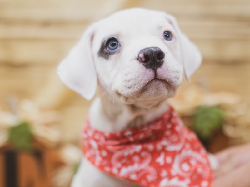 American Bulldog-DOG-Male-Blue & White Pibald-2830125-Petland Wichita, KS