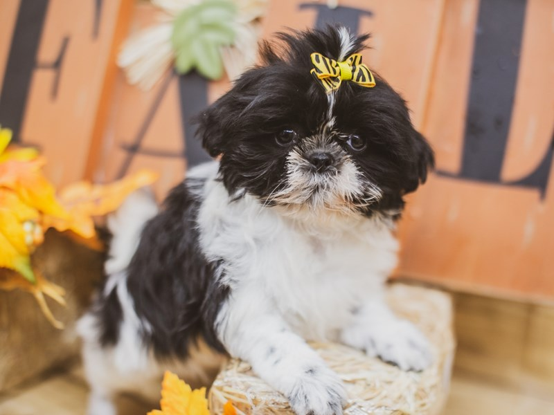 Shih Tzu-Female-White & Black-2833681-Petland Wichita, KS