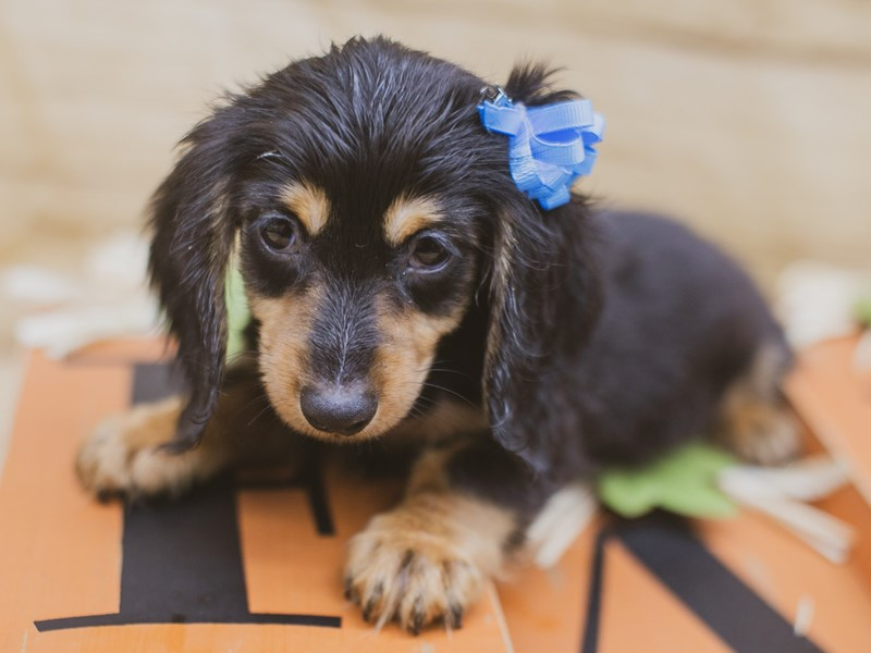 Miniature Dachshund-Female-Long Haired Black & Tan-2841041-Petland Wichita, KS