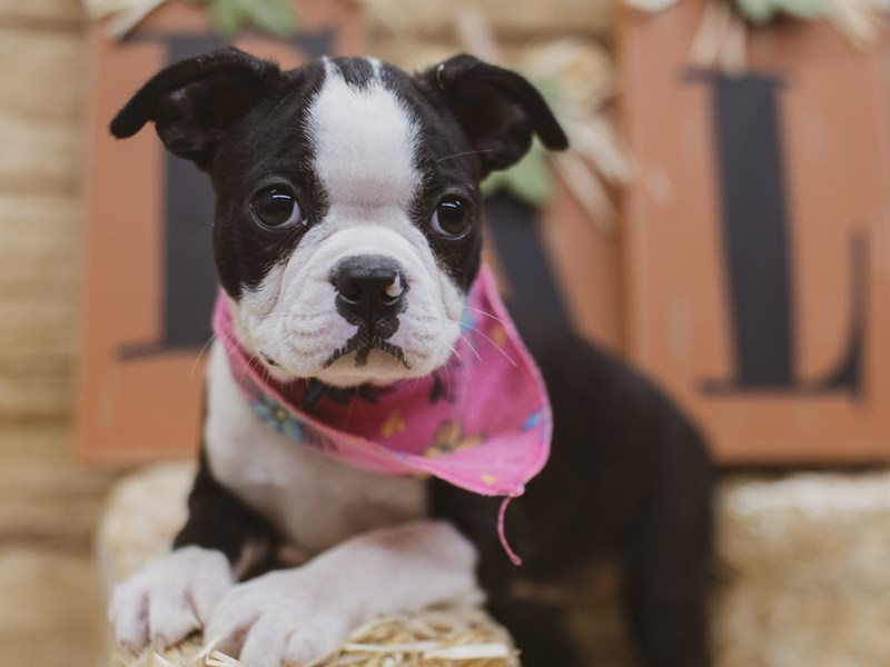 Boston Terrier-Female-Black & White-2840124-Petland Wichita, KS