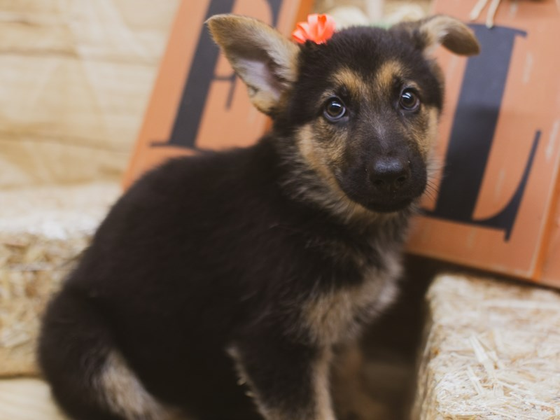 German Shepherd-Female-Black & Gold-2840115-Petland Wichita, KS