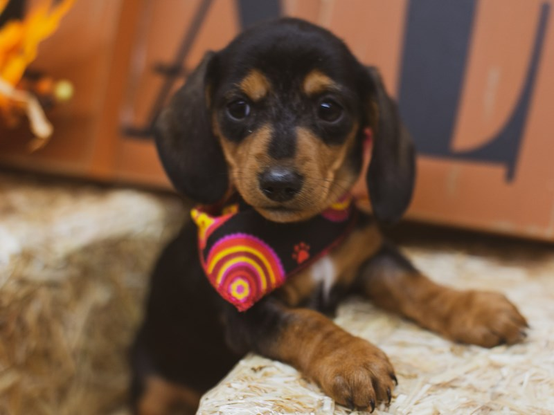 Miniature Dachshund-Female-Black & Tan-2849118-Petland Wichita, KS