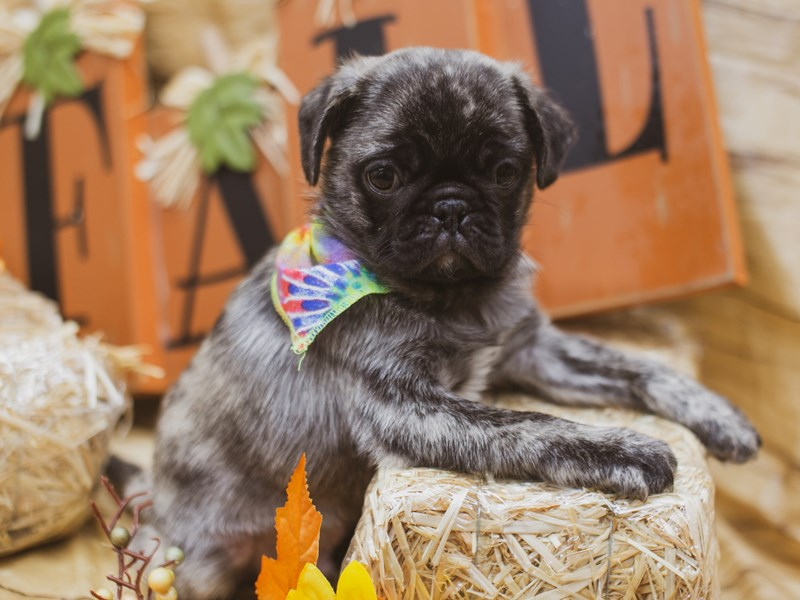Pug-Male-Brindle Black Mask-2848958-Petland Wichita, KS