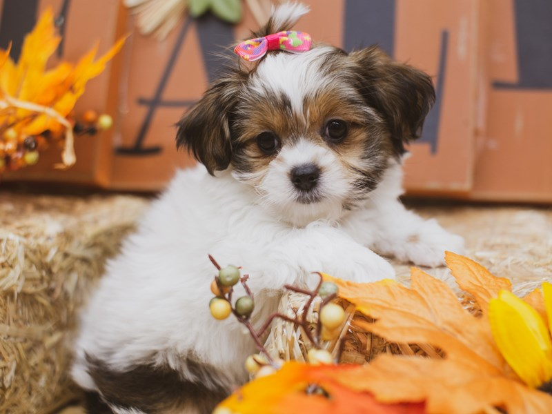 Toy ShihPoo-Female-Gold and White-2848901-Petland Wichita, KS