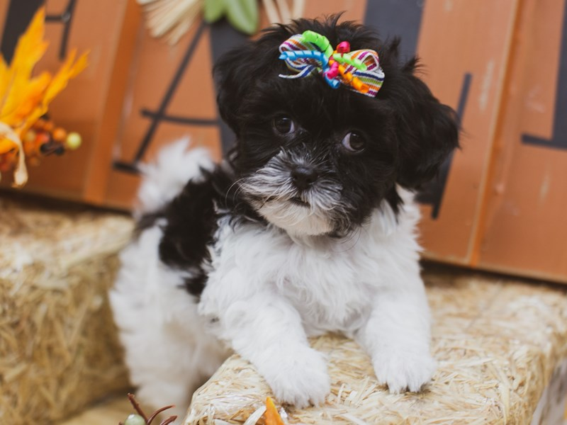 Toy ShihPoo-Female-Black and White-2848899-Petland Wichita, KS