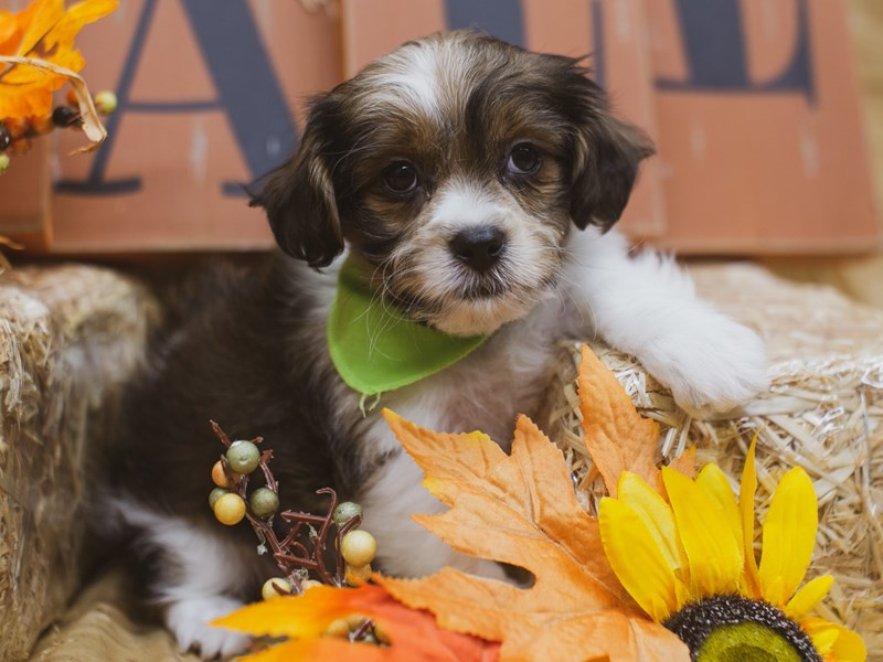 Toy ShihPoo-Male-Gold and White-2848889-Petland Wichita, KS