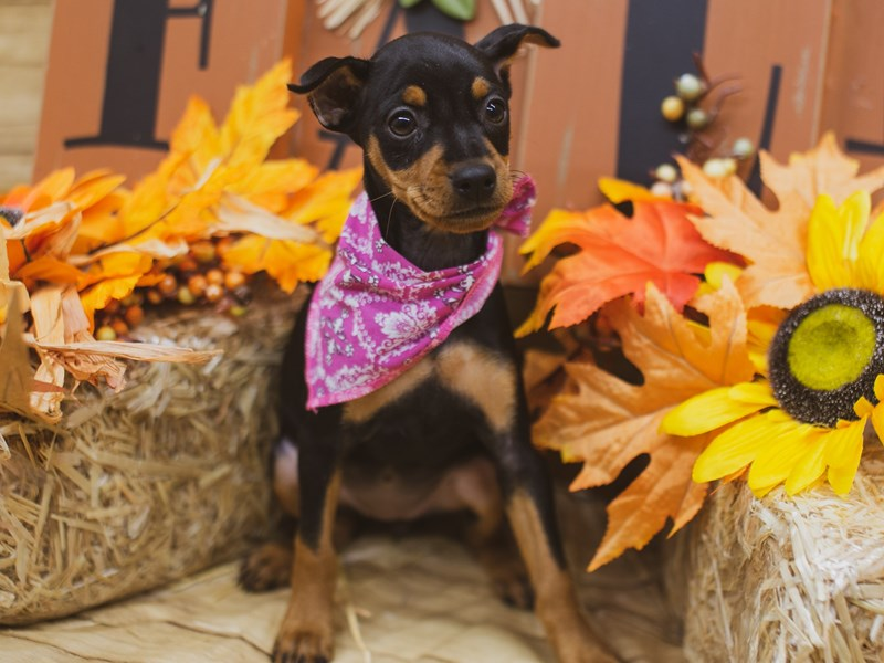 Miniature Pinscher-Female-Black & Tan-2848784-Petland Wichita, KS