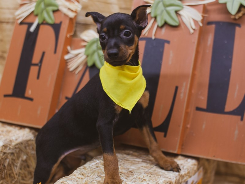 Miniature Pinscher-DOG-Male-Black & Tan-2848778-Petland Wichita, KS