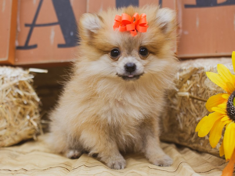 Pomeranian-Female-Sable-2841611-Petland Wichita, KS