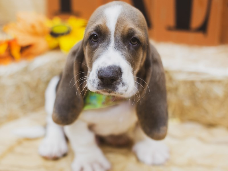 Basset Hound-Male-Blue Tri-2856758-Petland Wichita, KS