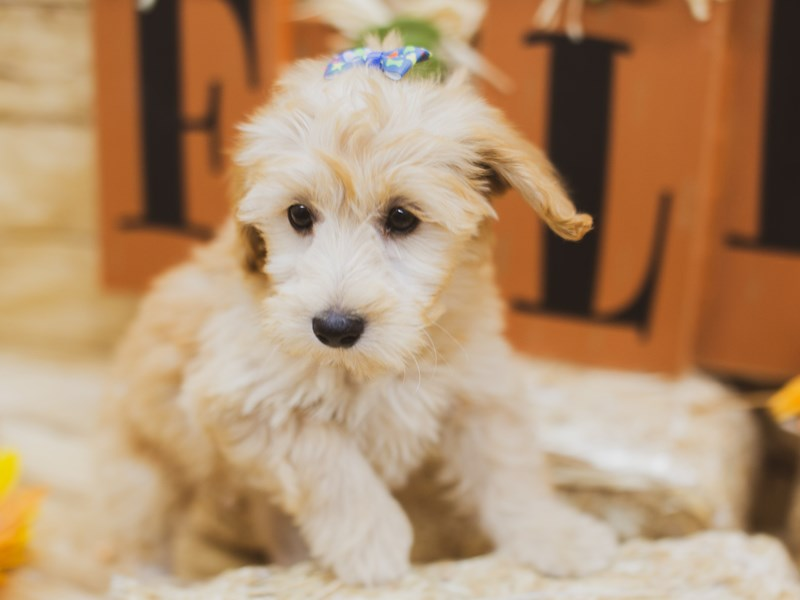 F1B Mini Goldendoodle-Female-Golden-2856736-Petland Wichita, KS
