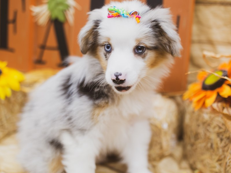 Miniature Australian Shepherd-Female-Blue Merle-2856307-Petland Wichita, KS