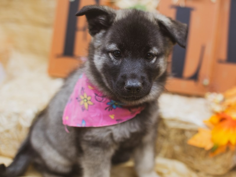 Norwegian Elkhound-Female-Black & Silver-2855974-Petland Wichita, KS