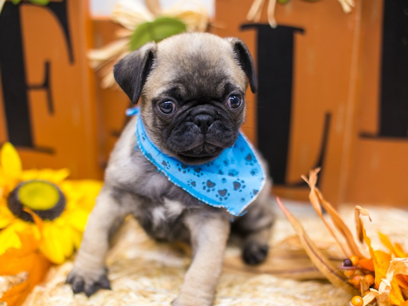 Pug-Male-Dark Fawn/Black Mask-2863717-Petland Wichita, KS