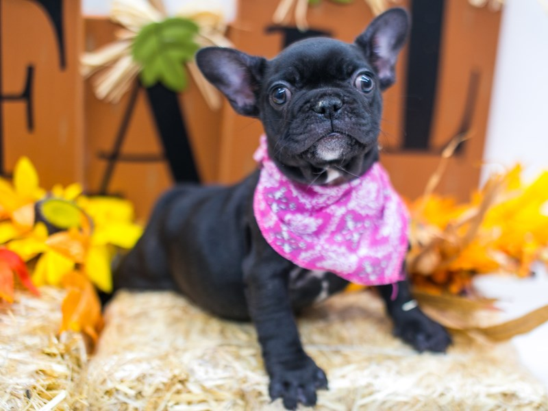 French Bulldog-Female-Brindle & White-2863713-Petland Wichita, KS