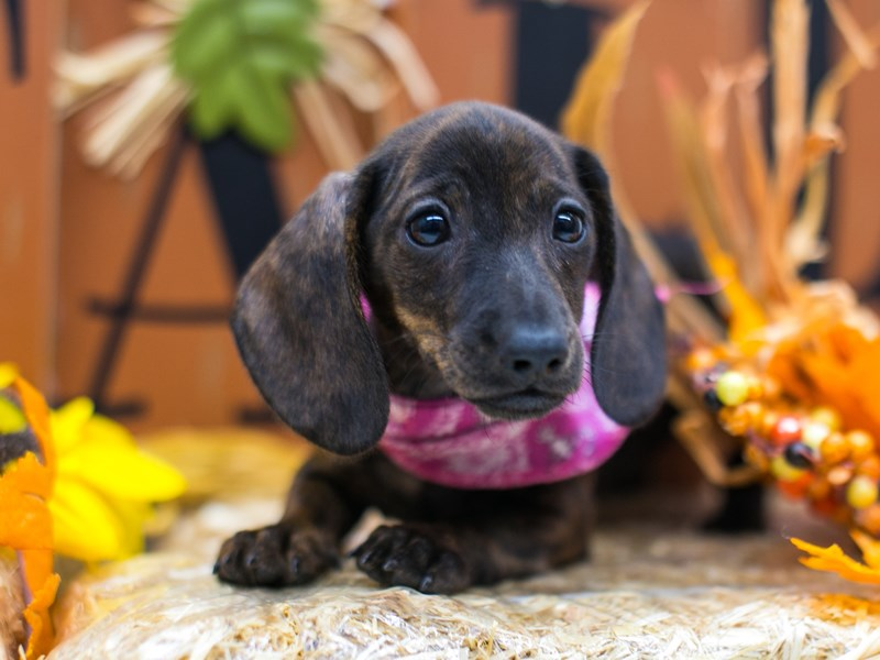 Miniature Dachshund-Female-Brindle Smooth Coat-2863585-Petland Wichita, KS