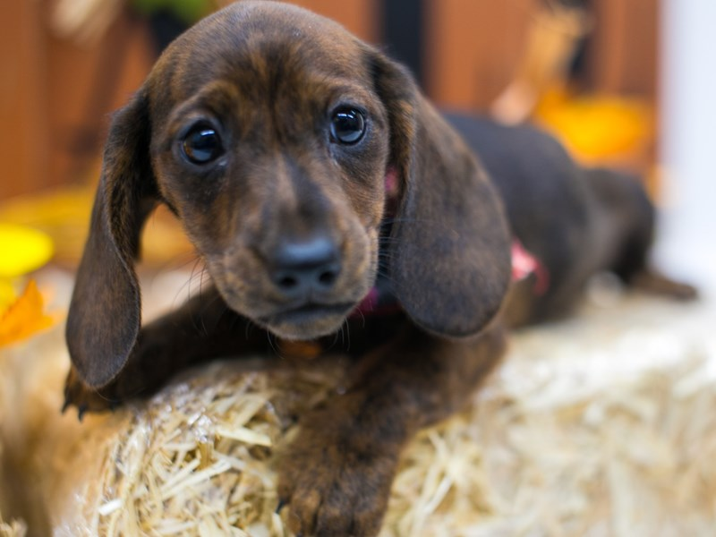 Miniature Dachshund-Female-Brindle Smooth Coat-2863594-Petland Wichita, KS
