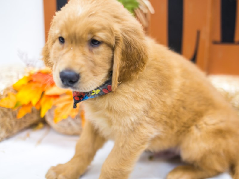 Golden Retriever-Male-Golden-2863511-Petland Wichita, KS