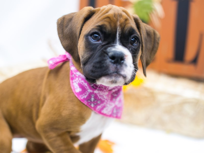 Boxer-Female-Flashy Mahogany-2863328-Petland Wichita, KS