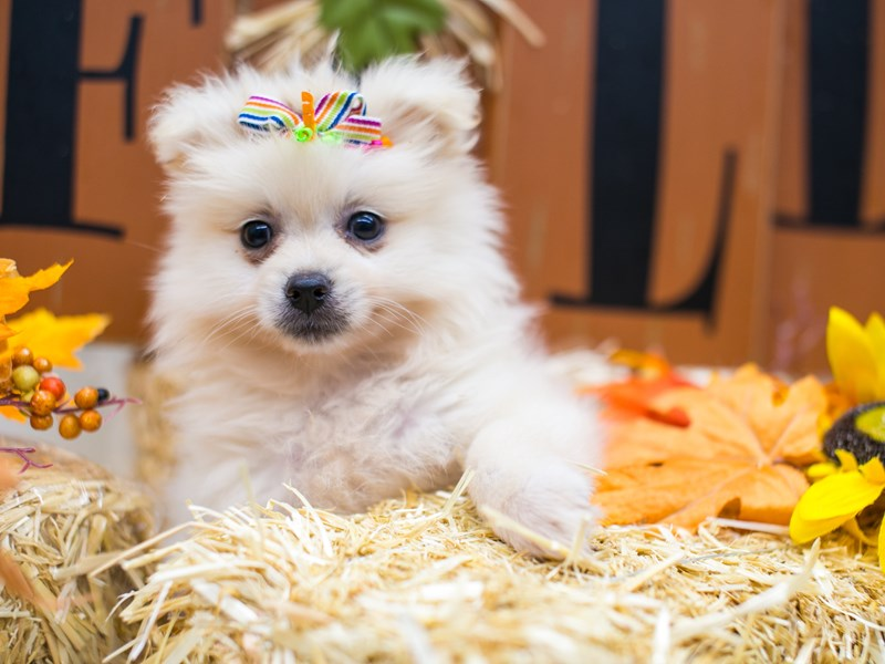 Pomeranian-Female-Cream-2871273-Petland Wichita, KS
