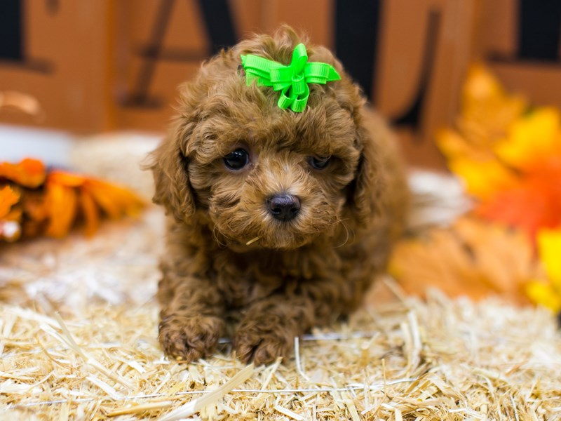 Toy Poodle-Female-Red-2870273-Petland Wichita, KS