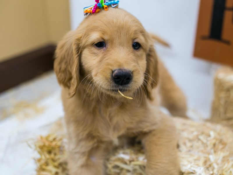 Golden Retriever-DOG-Female-Golden-2871579-Petland Wichita, KS