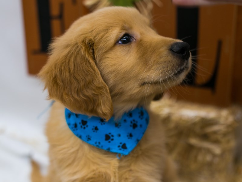 Golden Retriever-Male-Golden-2871576-Petland Wichita, KS
