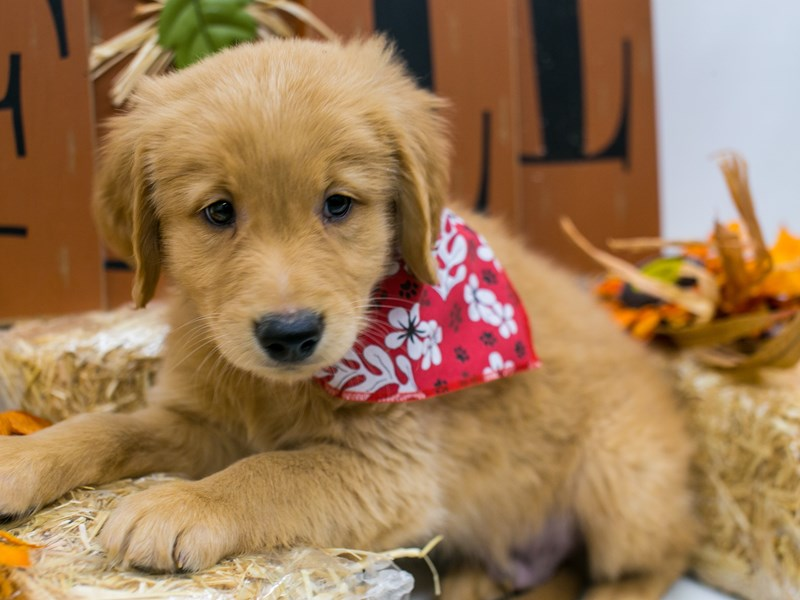 Golden Retriever-Male-Golden-2871569-Petland Wichita, KS
