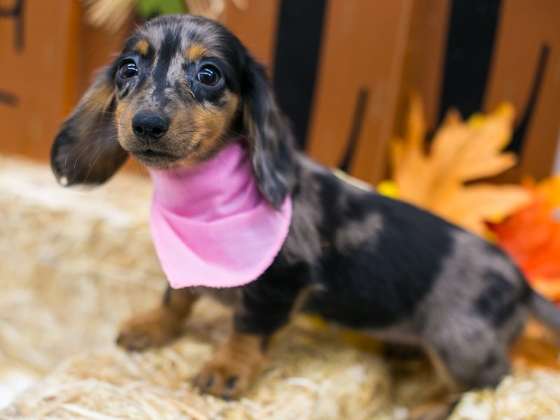 Miniature Dachshund-Female-Long Hair Silver Dapple-2871441-Petland Wichita, KS