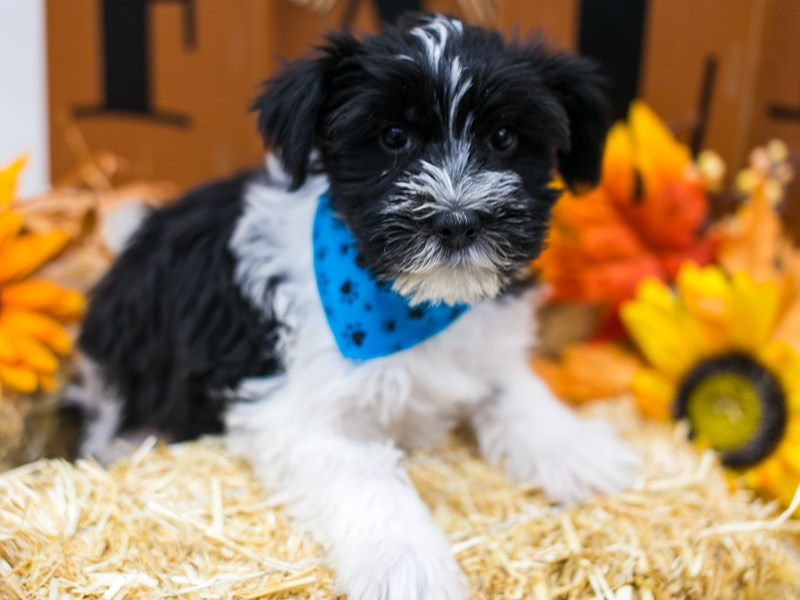 Snorkie-Male-Black & White-2868361-Petland Wichita, KS
