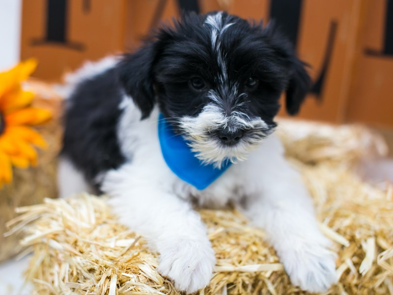 Snorkie-Male-Black & White-2868338-Petland Wichita, KS