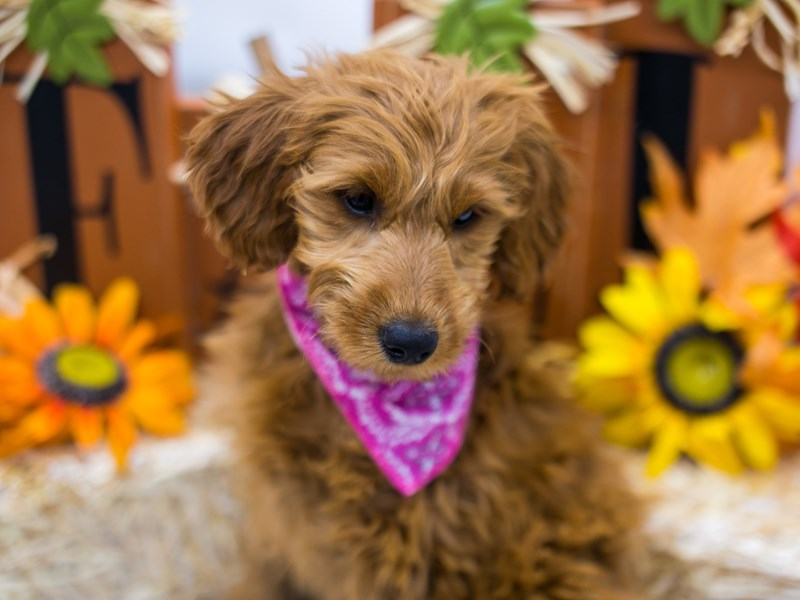 F1B Mini Goldendoodle-Female-Red-2870205-Petland Wichita, KS