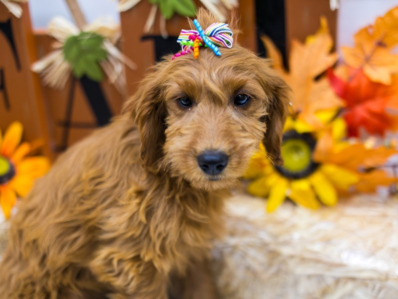 F1B Mini Goldendoodle-Female-Red-2870196-Petland Wichita, KS