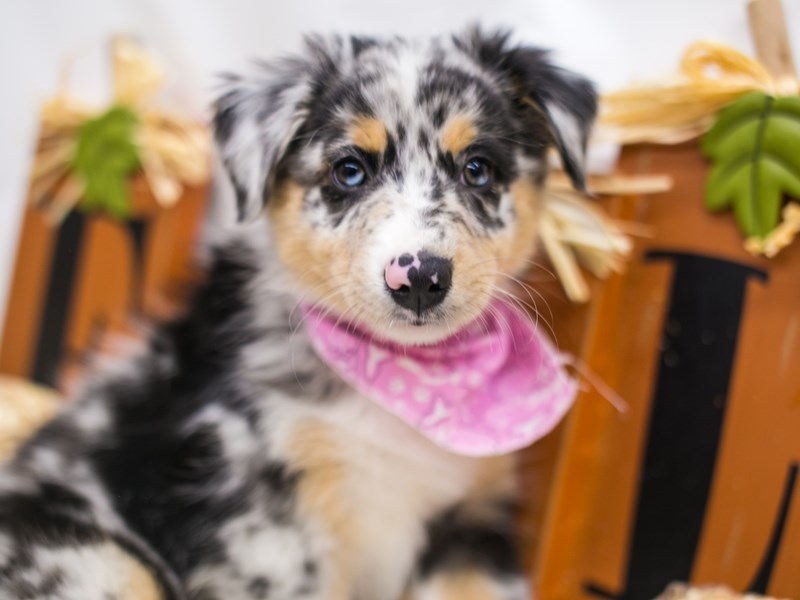Mini Border Aussie-Female-Blue Merle White & Tan-2871625-Petland Wichita, KS