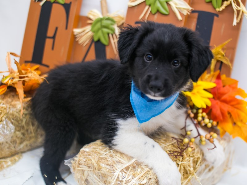 Mini Border Aussie-Male-Black White & Tan-2871624-Petland Wichita, KS