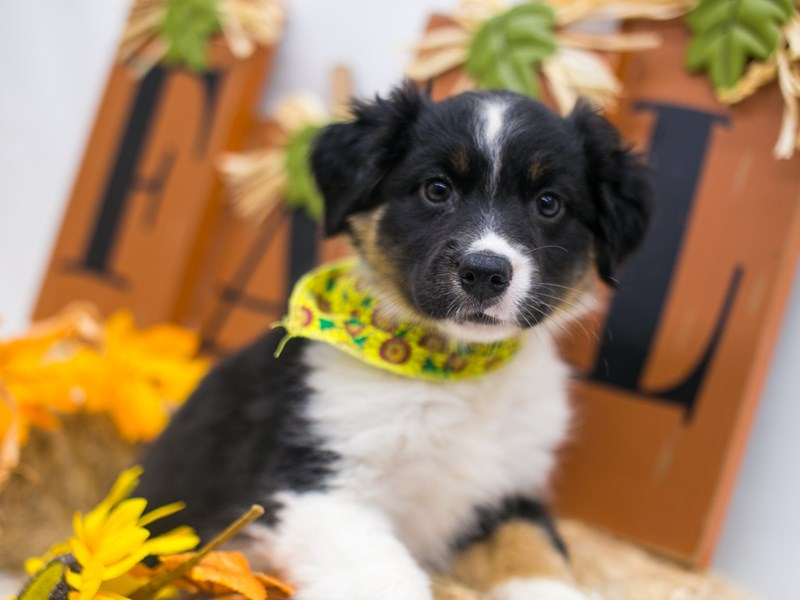 Mini Border Aussie-Female-Black White & Tan-2871623-Petland Wichita, KS