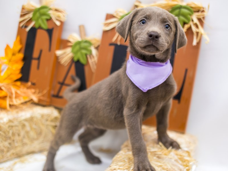 English Labrador Retriever-Female-Silver-2871330-Petland Wichita, KS
