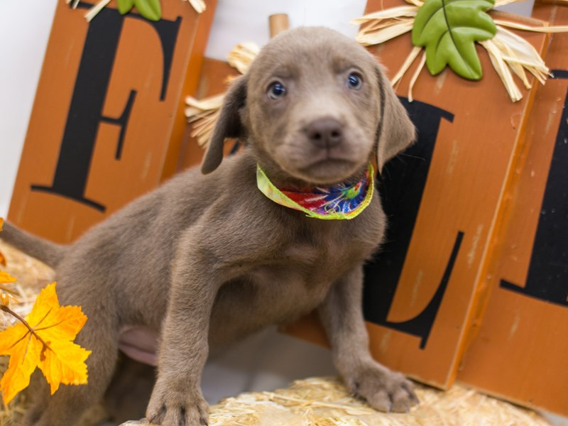 English Labrador Retriever-Male-Silver-2871313-Petland Wichita, KS