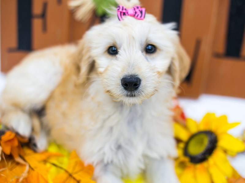 Mini Goldendoodle-DOG-Female-Golden-2878143-Petland Wichita, KS