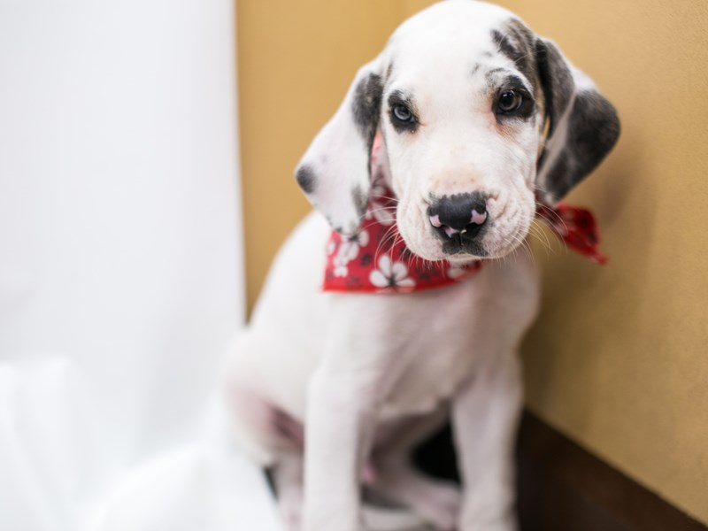 Great Dane-Male-White w/ Brindle Spots-2877972-Petland Wichita, KS