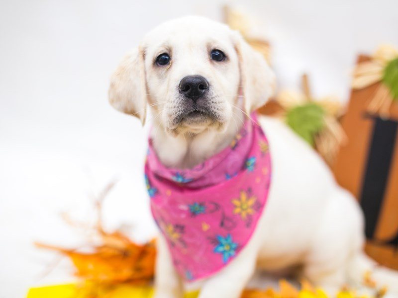 English Labrador Retriever-Female-Yellow-2877741-Petland Wichita, KS