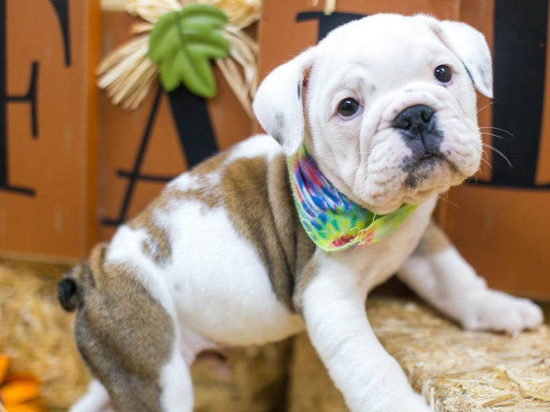 English Bulldog-Male-Red Pibald-2834914-Petland Wichita, KS