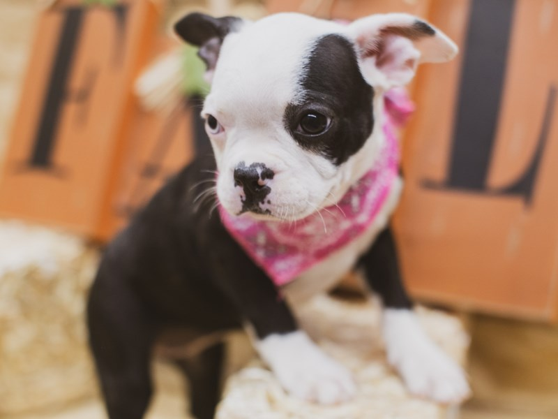 Boston Terrier-Female-Black & White (One Blue Eye)-2840118-Petland Wichita, KS