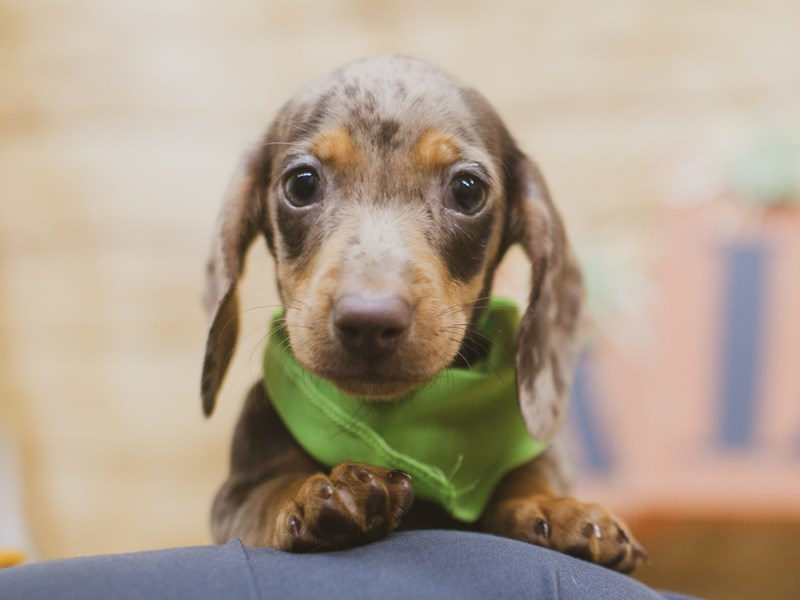 Miniature Dachshund-Male-Red Dapple-2840064-Petland Wichita, KS
