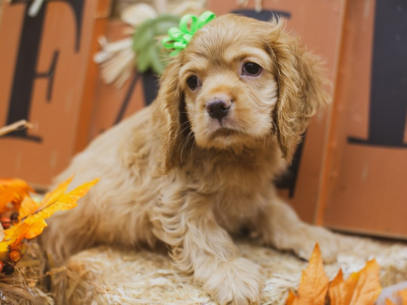 Cocker Spaniel-Female-Buff-2848816-Petland Wichita, KS