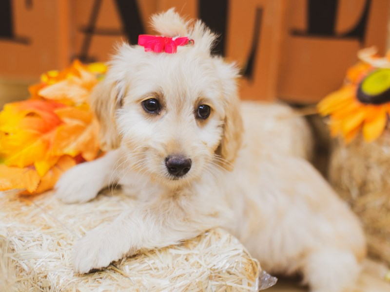 F1B Mini Goldendoodle-Female-Golden-2856755-Petland Wichita, KS