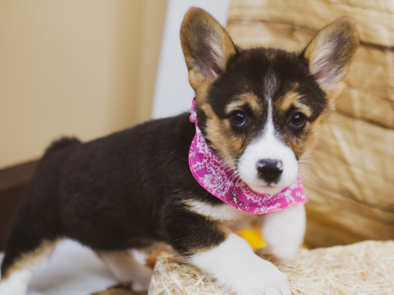 Pembroke Welsh Corgi-Female-Black Tri-2856718-Petland Wichita, KS