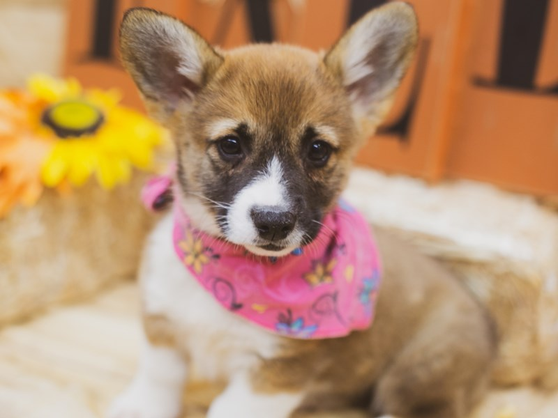 Pembroke Welsh Corgi-Female-Sable-2856715-Petland Wichita, KS