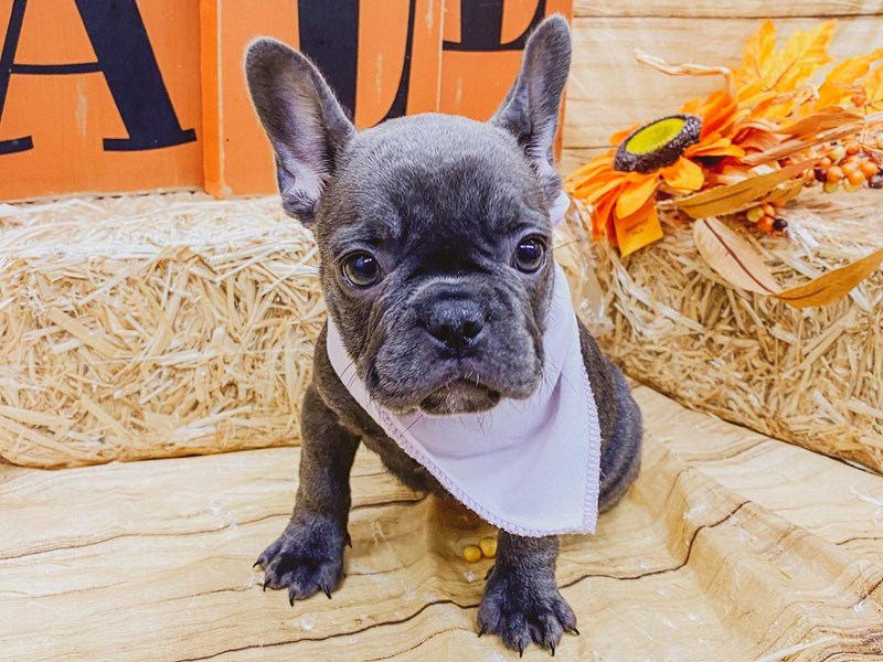 French Bulldog-Female-Blue-2856679-Petland Wichita, KS